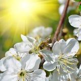 Abeja en las flores florecientes Fotografía de archivo libre de regalías