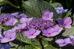 Abeja en las flores florecientes de la hortensia Fotografía de archivo