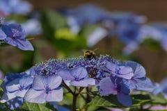 Abeja en las flores florecientes de la hortensia Imágenes de archivo libres de regalías