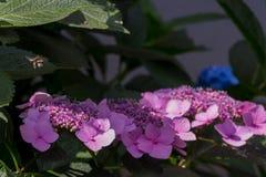 Abeja en las flores florecientes de la hortensia Fotos de archivo libres de regalías