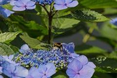 Abeja en las flores florecientes de la hortensia Imagen de archivo