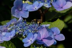Abeja en las flores florecientes de la hortensia Imagenes de archivo