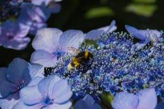 Abeja en las flores florecientes de la hortensia Fotografía de archivo libre de regalías