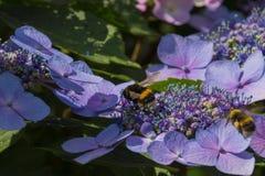 Abeja en las flores florecientes de la hortensia Foto de archivo