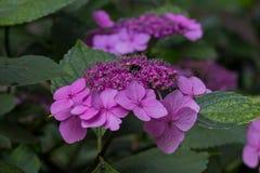 Abeja en las flores florecientes de la hortensia Fotos de archivo