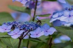 Abeja en las flores florecientes de la hortensia Imagen de archivo libre de regalías