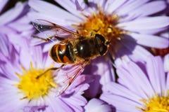 Abeja en las flores florecientes de la primavera Fotografía de archivo libre de regalías