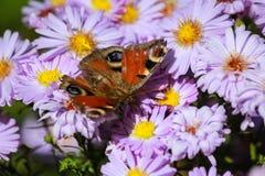Abeja en las flores florecientes de la primavera Fotos de archivo