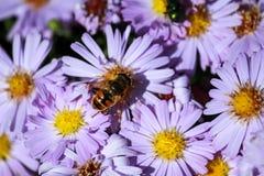 Abeja en las flores florecientes de la primavera Fotos de archivo libres de regalías