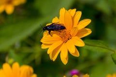 Abeja en las flores florecientes del doronikum Fotos de archivo libres de regalías