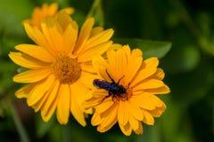 Abeja en las flores florecientes del doronikum Fotografía de archivo libre de regalías