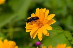 Abeja en las flores florecientes del doronikum Imágenes de archivo libres de regalías