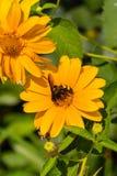 Abeja en las flores florecientes del doronikum Foto de archivo