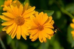 Abeja en las flores florecientes del doronikum Imagen de archivo libre de regalías