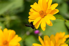 Abeja en las flores florecientes del doronikum Imagen de archivo