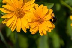 Abeja en las flores florecientes del doronikum Fotos de archivo