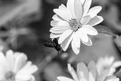 Abeja en las flores florecientes del doronikum Rebecca 36 Foto de archivo libre de regalías