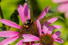 Abeja en las flores florecientes del echinacea Imagenes de archivo