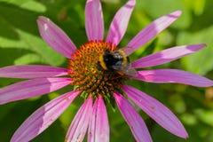 Abeja en las flores florecientes del echinacea Foto de archivo