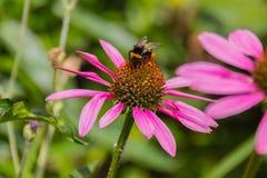 Abeja en las flores florecientes del echinacea Fotos de archivo libres de regalías
