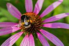 Abeja en las flores florecientes del echinacea Foto de archivo libre de regalías