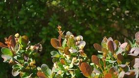 Abeja en las flores florecientes que recolectan el néctar