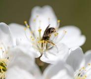 Abeja en las flores en naturaleza Macro Foto de archivo