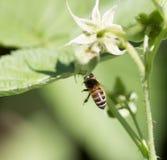 Abeja en las flores en naturaleza Macro Fotos de archivo libres de regalías