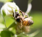 Abeja en las flores en naturaleza Macro Imágenes de archivo libres de regalías