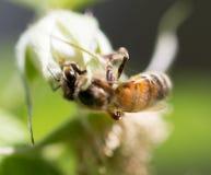 Abeja en las flores en naturaleza Macro Fotografía de archivo