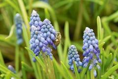 Abeja en las flores púrpuras del azafrán Fotografía de archivo libre de regalías