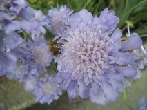 Abeja en las flores púrpuras en un jardín Fotografía de archivo