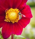 Abeja en las flores rojas Foto de archivo libre de regalías