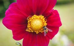 Abeja en las flores rojas Imágenes de archivo libres de regalías