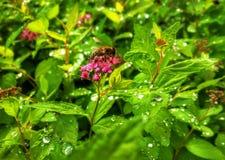 Abeja en las flores rojas con descensos del agua Foto de archivo