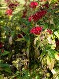 Abeja en las flores rojas de Pentas Fotos de archivo