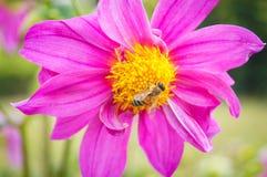 Abeja en las flores rosadas Imágenes de archivo libres de regalías