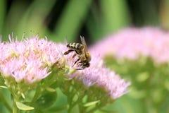 Abeja en las flores rosadas Imagen de archivo libre de regalías