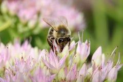 Abeja en las flores rosadas Fotografía de archivo
