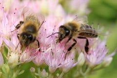 Abeja en las flores rosadas Fotografía de archivo libre de regalías