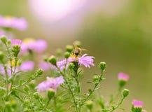 Abeja en las flores rosadas Fotos de archivo