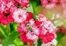 Abeja en las flores rosadas Foto de archivo