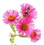Abeja en las flores rosadas Fotos de archivo libres de regalías