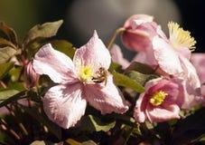 Abeja en las flores rosadas grandes de las clemátides Montana en jardín botánico Fotografía de archivo