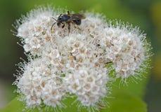 Abeja en las flores salvajes Imagenes de archivo