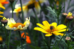 Abeja en las flores salvajes Imagen de archivo