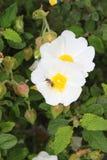 Abeja en las flores salvajes de las rosas Fotografía de archivo libre de regalías
