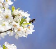Abeja en las flores en un árbol Foto de archivo libre de regalías