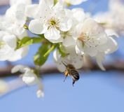 Abeja en las flores en un árbol Imágenes de archivo libres de regalías