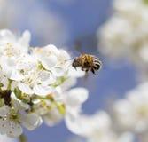 Abeja en las flores en un árbol Fotos de archivo libres de regalías